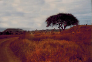 Giraffen in Tsavo