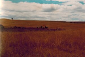Gnoe en impala