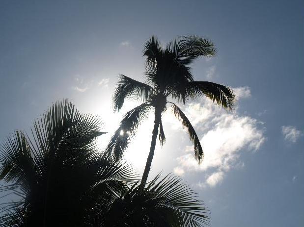 Palmboom op Maui