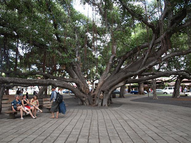 Banyan vine tree in Lahaina, Maui