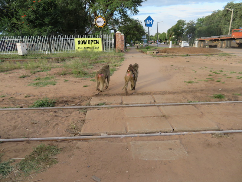 Baboons strolling through Victoria Falls