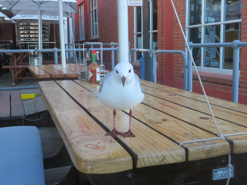 Seagull in Cape Town
