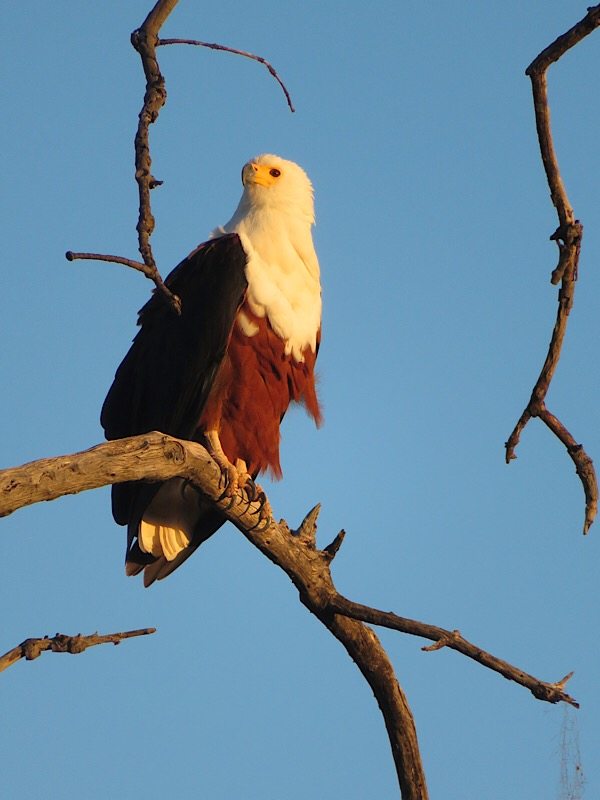 Fish Eagle in Botswana
