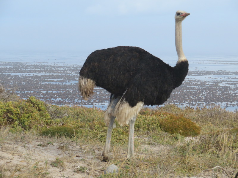 Ostrich near Cap of Good Hope