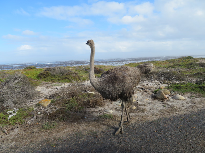 Female Ostrich near Cape of Good Hope