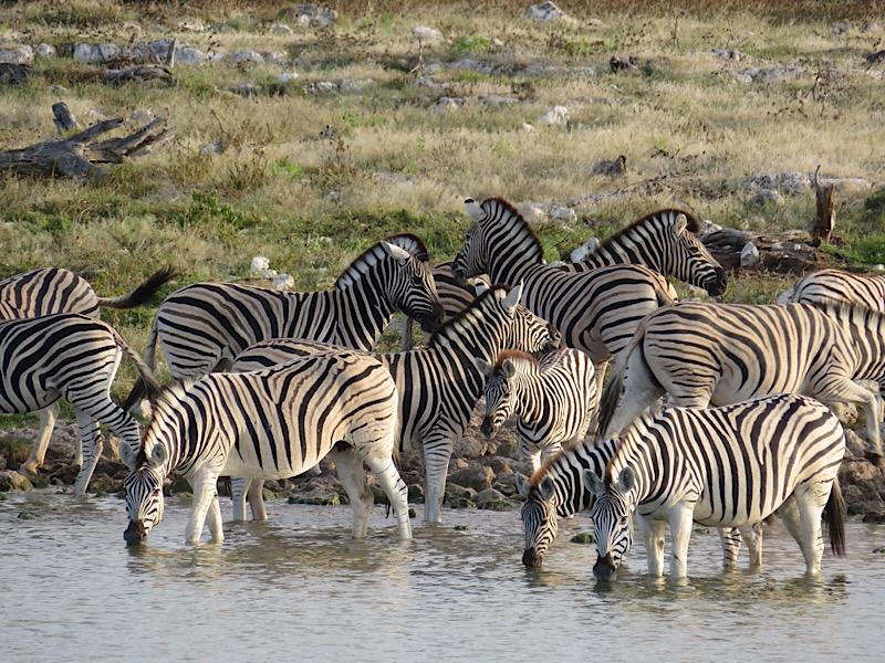 Africa: Zebras in Etosha