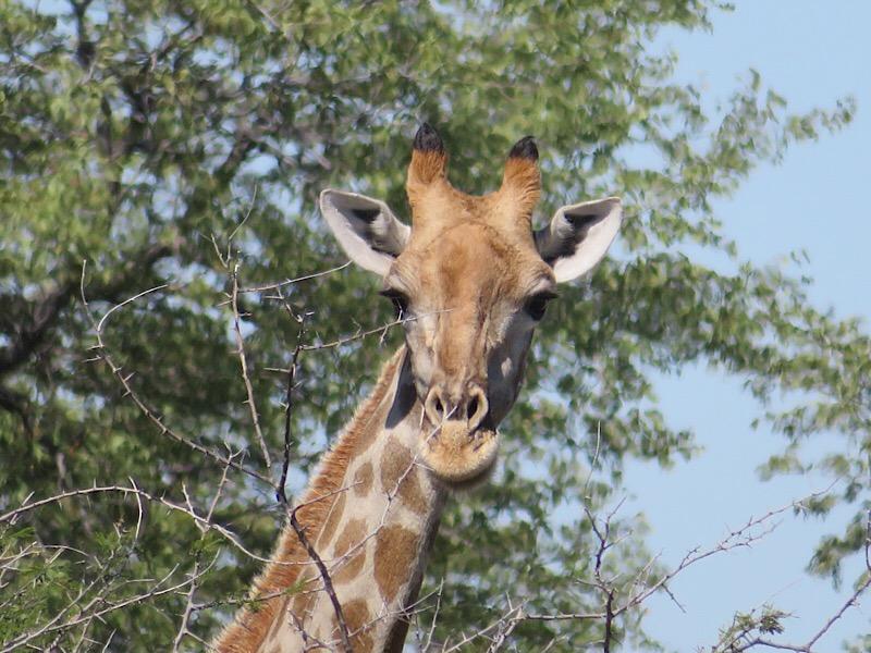 Africa: Giraffe in Etosha