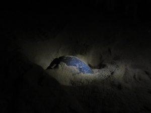 Schildpad in Ras Al-Jinz, Oman